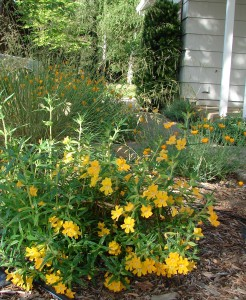 Sticky Monkey Flower: great for pollinators and your water bill.