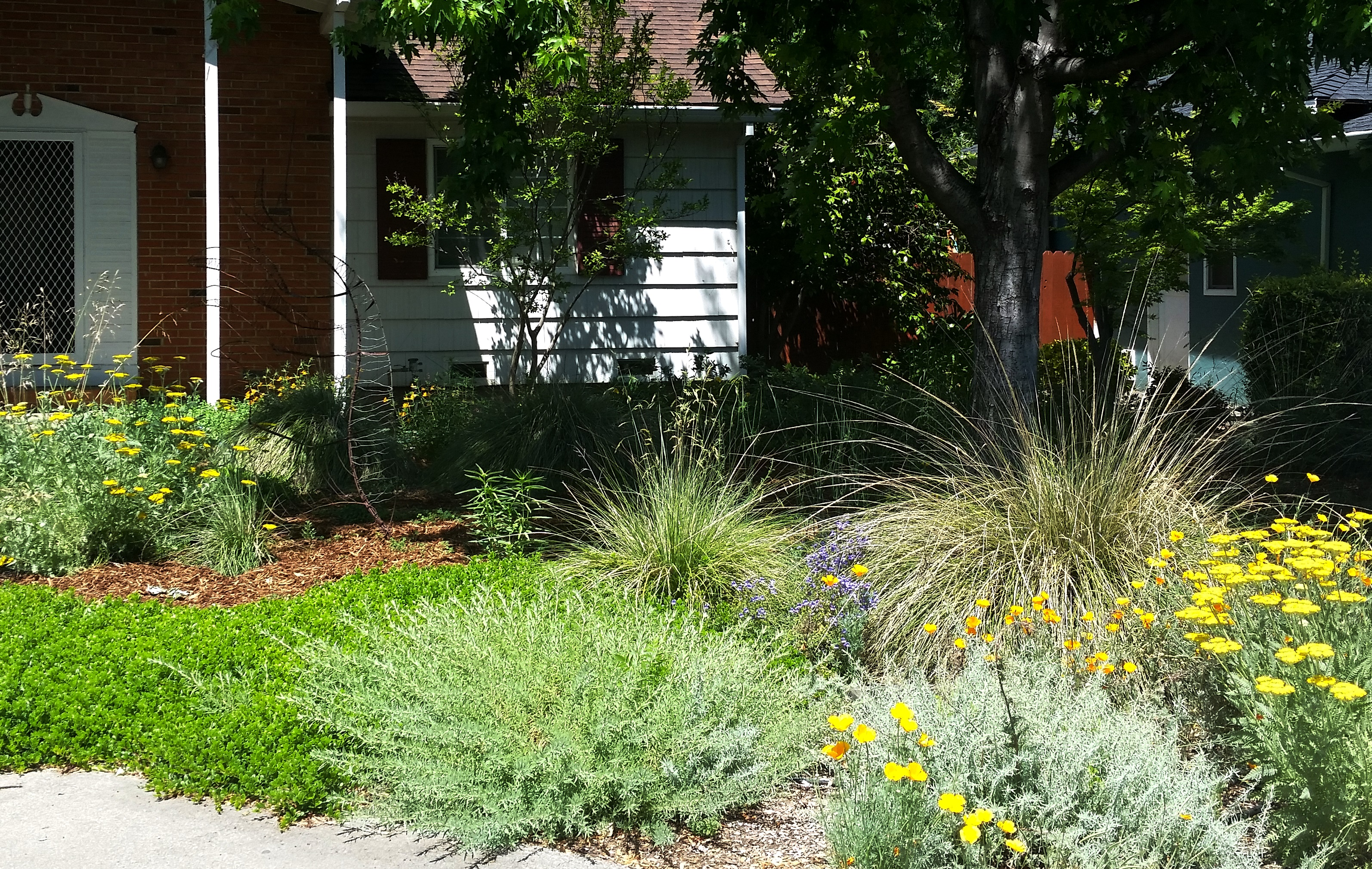 drought tolerant native ca plants replace a lawn