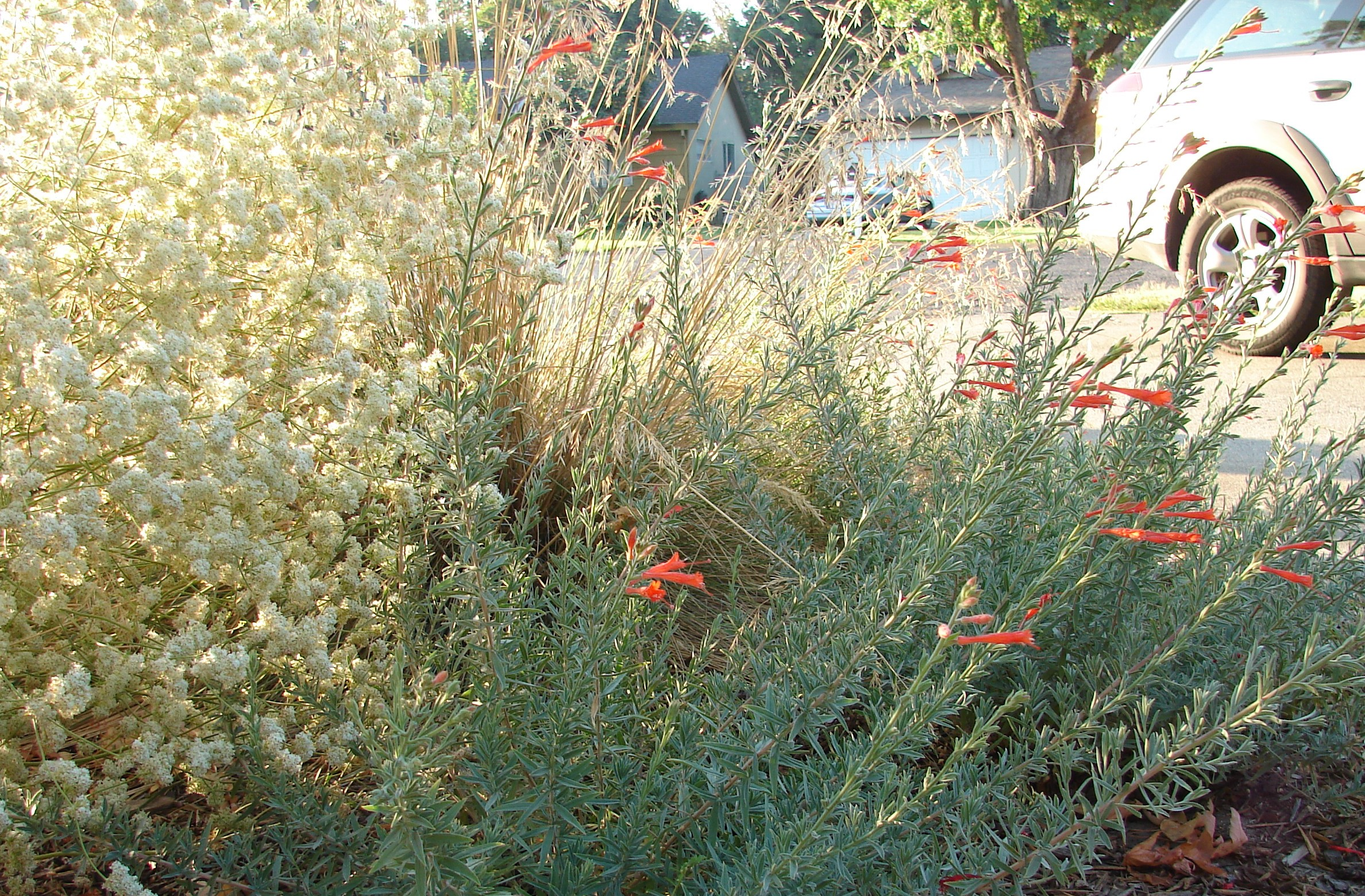 native CA plants bloom in fall
