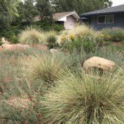 deer grass, muhlenbergia rigens, softens the boulders
