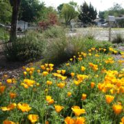 drought tolerant and beautiful poppies