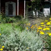 kill your lawn and replace with pollinator plant